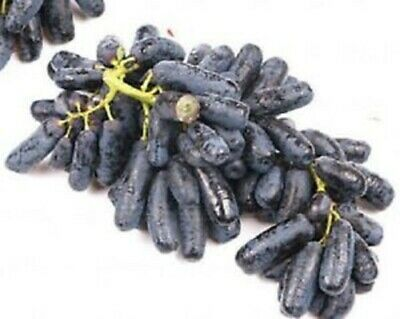 Witch Fingers GRAPE 3 cuttings for propagation