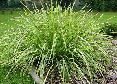LIME TUFF Lomandra native hardy frost & dry tolerant grass plant in 100mm pot