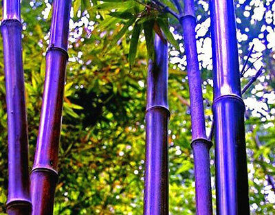 50 seeds of purple Timor Bamboo Bambusa Lako tree