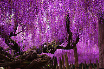 50 seeds of fragrant Pink Wisteria tree flowers