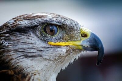 FALCON CLOSE UP WILDLIFE POSTER PRINT 24x36 HI RES 9 MIL PAPER