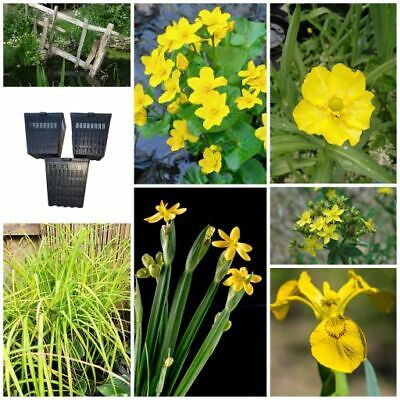 The Yellow Collection - Marginal Pond Water Plants - Wildlife and Bee Friendly!