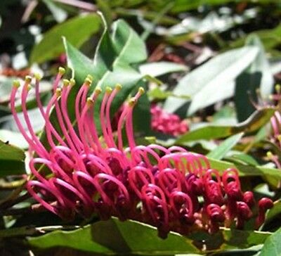 POORINDA ROYAL MANTLE Grevillea laurifolia x willsii native plant in 140mm pot