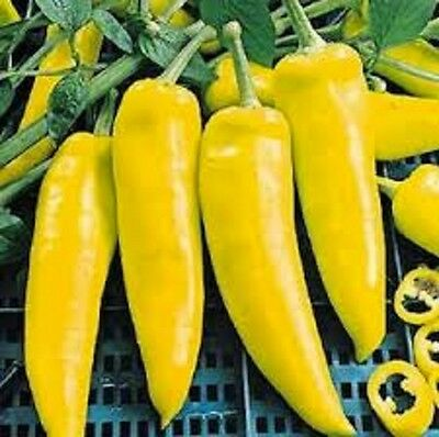 CAPSICUM SWEET LONG YELLOW edible vegetable plant in 100mm pot