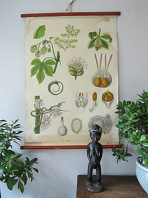 Vintage Botanical  Pull Down School Chart Of A Rhododendron  C1950