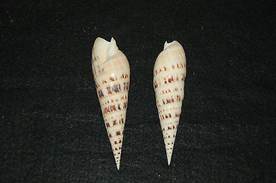 "One Large High Quality Marlin Spike Seashell 5"" To 6""  (Terebra Maculata)"