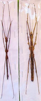 Malaysian Thorny Stick Bug Stheneboea repudiosa Spread Pair FAST SHIP FROM USA