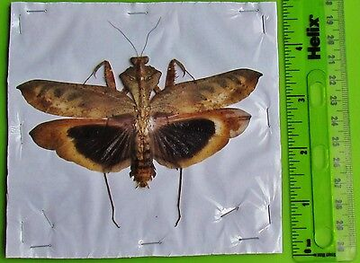 Unusual Leaf Mimic Mantis Male Spread Deroplatys desiccata FAST SHIP FROM USA