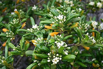 Japanese Cheesewood Seeds, Japanerse Mock-orange, Pittosporum tobira - Perennial