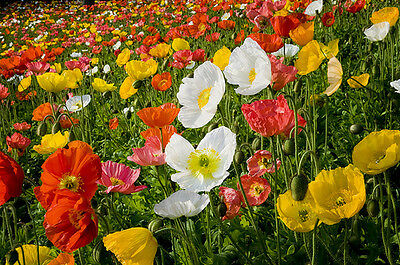 F0389 Poppy Iceland Excelsior Mix x1200 seeds