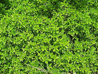 Thyme (Thymus vulgaris) - Growing Fast - in 7cm pot