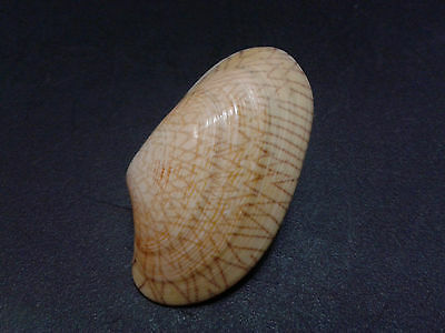 001- Seashell Bivalve clam Paphia undulata 51.2 mm.