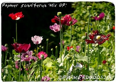 Papaver somniferum 'MIX' ONE GRAM BAG OF SEED!