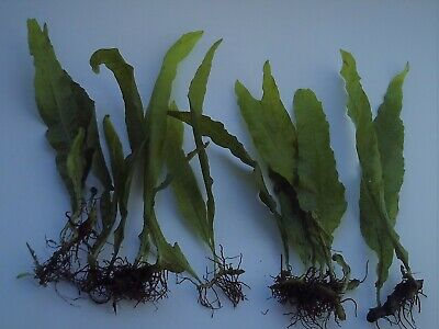 Java Fern Aquarium Aquatic Fish Tank  Plants Tropical Live Coldwater Fresh Plant