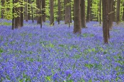 English bluebells Hyacinthoides non-scripta 2016 harvest 1000 SEEDS bluebell 10g