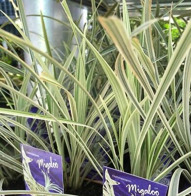 MIGALOO MONDO Ophiopogon Variegated Native White Strappy Grass plant 100mm pot
