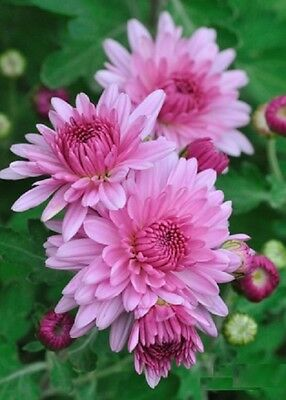 F0113D Chrysanthemum Indicum Double Mix x50 seeds, Mothers Day Flower