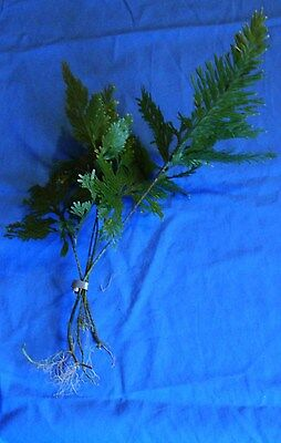 Umbrella  Aquarium Aquatic Fish Tank Plant Plants Coldwater Tropical Fern  Water