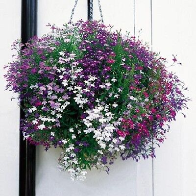 F0287 Lobelia Cascade Mix x100 seeds, Colourful Trailing Plant