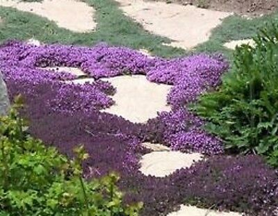 H061 Creeping Thyme Bulk x500 seeds  *** 5c goes to Cancer Council