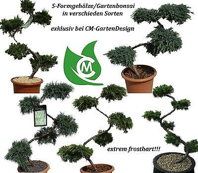 larix kaempferi gartenbonsai bonsai solit r. Black Bedroom Furniture Sets. Home Design Ideas