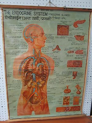 Vintage Indian Human Anatomy Chart The Endocrine System, Hindi/English