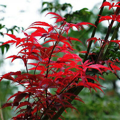 10 JAPANESE MAPLE TREE Acer Palmatum Red Maple Seeds