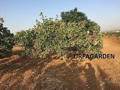 Pistacia Vera Genuine Turkish Antep Pistachios Tree Fresh 2016 New Season Seeds