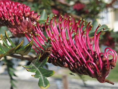FANFARE Grevillea native fast growing groundcover red flower plant in 140mm pot
