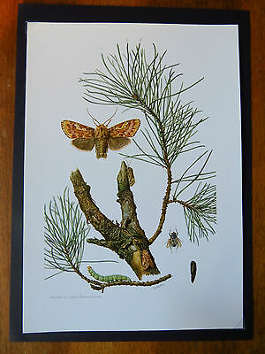 Vintage Print Of Pine Beauty Moth  Educational School Chart Insects Entomology