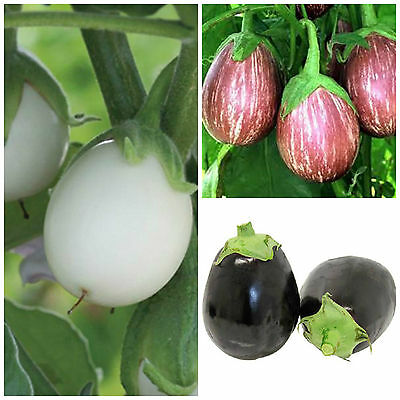 6 x EGGPLANT DELIGHTS – Calliope, Ivory, Nancy plants – large seedling punnet