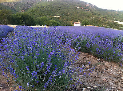 1Lb BULK DRIED LAVENDER Buds BLOOMS Flowers Very Fresh From Greece