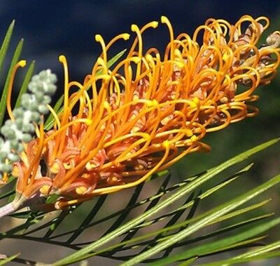 HONEY GEM Grevillea native all-year gold flowers plant in 140mm pot