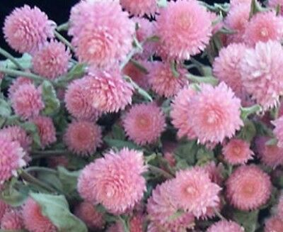 F0246 Gomphrena Globosa Tall Rose x50, Great For Drying