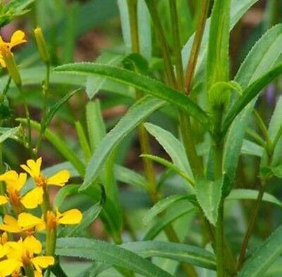 MEXICAN TARRAGON Tagetes lucida culinary herb plant in 100mm pot