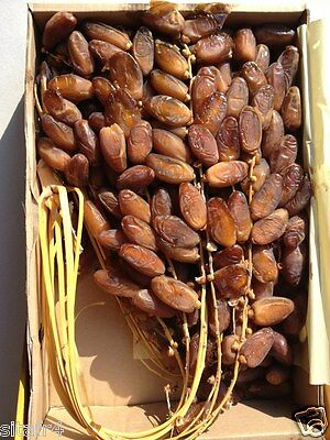 3,5 kg Fresh original Algerian Deglet Noor dates fruit on the vine HIGH QUALITY