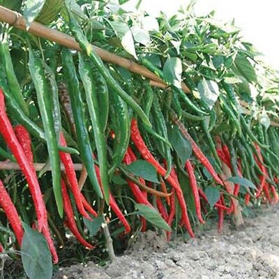 20Pcs Garden Rare Giant Spices Red Spicy Chili Pepper Seeds Vegetable Plant
