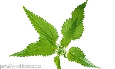 Urtica dioica 'STINGING NETTLE  SEEDS  1g to 1 kg WILD FLOWER MEADOW
