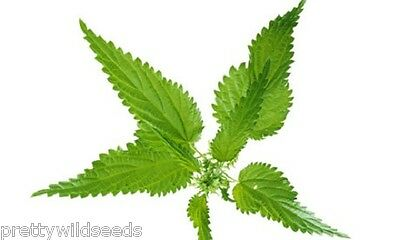 Urtica dioica 'STINGING NETTLE  SEEDS 2,000 to 2,000,000  1g to 1 kg  MEADOW