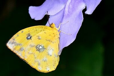 Orange-barred Sulphur Butterfly Phoebis philea philea Papered FAST USA
