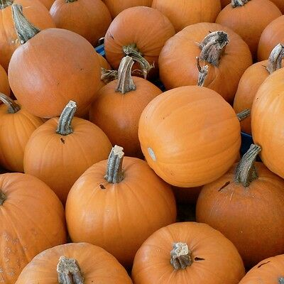 Pumpkin SMALL SUGAR-Pumpkin Seeds-NAME SAYS IT ALL-20 SEEDS