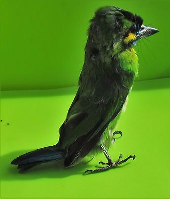 Pretty Blue-eared Barbet Megalaima australis Taxidermy FAST SHIP FROM USA