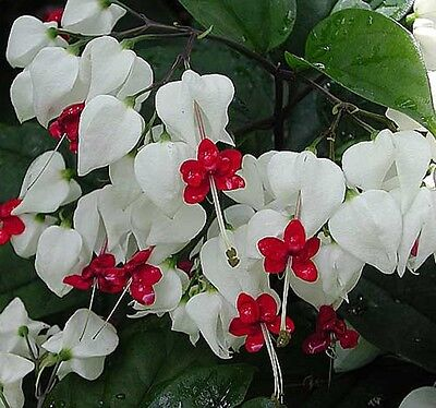 BLEEDING HEART Clerodendron Thomsoniae climber flowering plant in 140mm pot