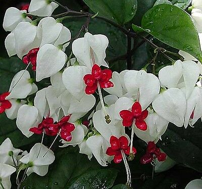 BLEEDING HEART Clerodendron Thomsoniae climber white flowers plant in 140mm pot