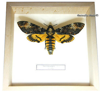 REAL MOUNTED FRAMED BUTTERFLY - Acherontia atropos, female - DEATH'S HEAD MOTH