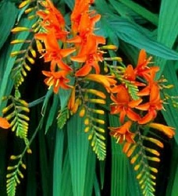 Ex187 Crocosmia Lucifer Red/Orange x20seeds, Hardy Drought Tolerant,Not for NSW