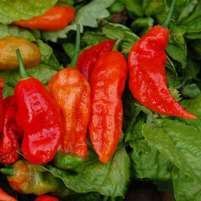 20pcs Bhut Jolokia Ghost Peppers Seeds Chili Rare Sowing Balcony Vegetable