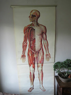 Pull Down Medical School Full Body Chart Of Human Circulation And Musculature