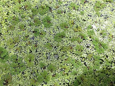 Duckweed + Azolla Mixed - 8cm x 10cm Zip Lock Bag ****BUY 3 GET 1 FREE****