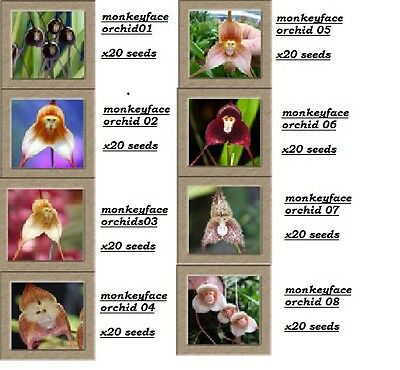 Home Garden Rare Monkey Face Orchid Seeds Beautiful Plant Flower quality seeds